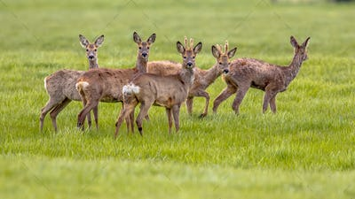 Mixed Group of Roe Deer in grassland environment