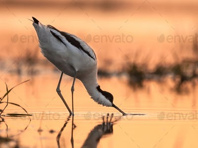 foraging pied avocet picking up food from water