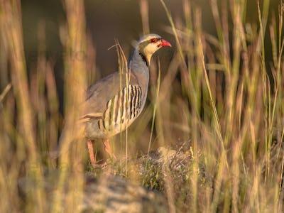 chukar partridge looking through vegetation