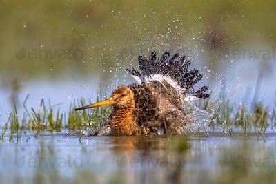 Black-tailed Godwit wader bird washing and splashing