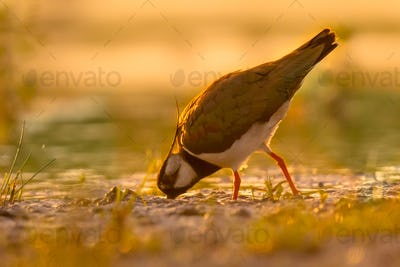 Northern lapwing pecking in wetland with warm morning colors