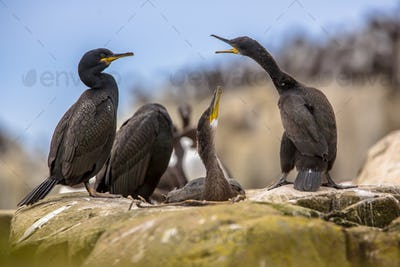 European shag with young