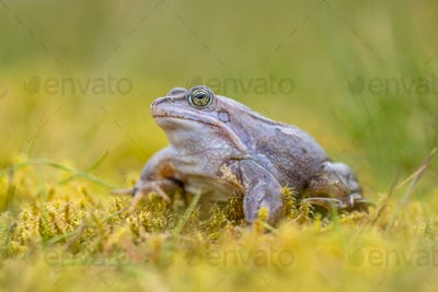 Blue Moor frog on bright background