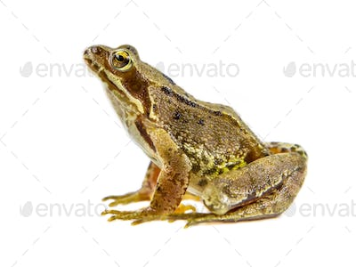 Common brown Frog white background