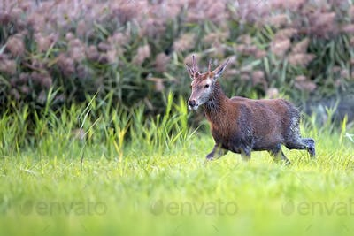 Wet red deer in a clearing