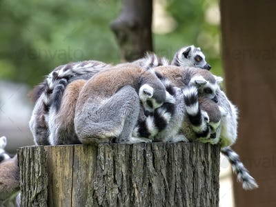 Lemurs family in the forest