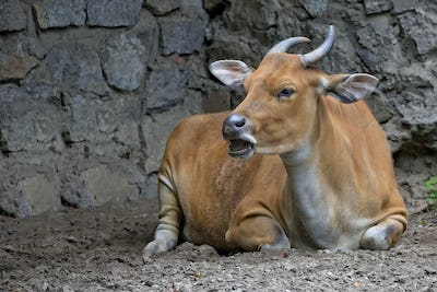 Banteng in a clearing