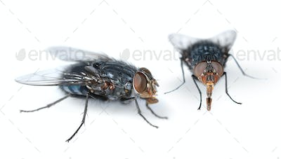 Two houseflies on white