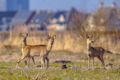 Urbanized Roe deer