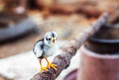 Chicks on a branch