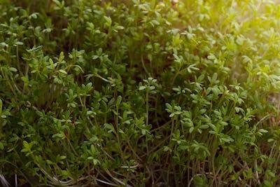 Fresh cress salad