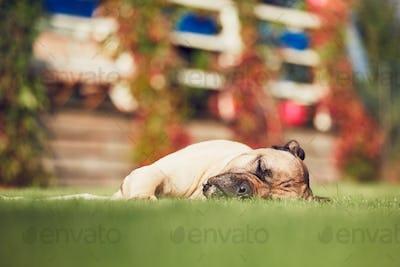 Sleeping dog in the garden