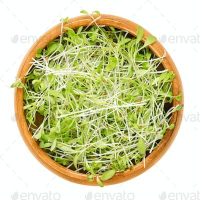 Alfalfa microgreens in wooden bowl over white