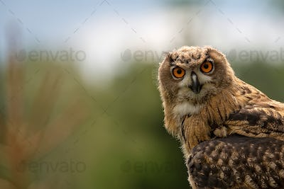 Eagle-owl in the forest, a portrait