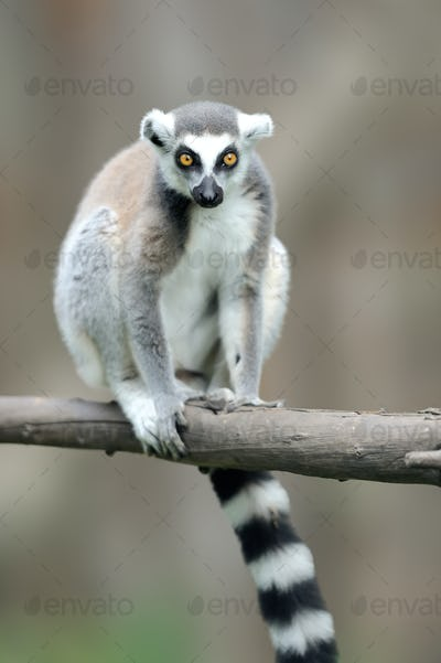 Ring-tailed Lemur, Lemur catta, with clear background