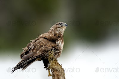 Hawk sitting on the spruce branch in winter time