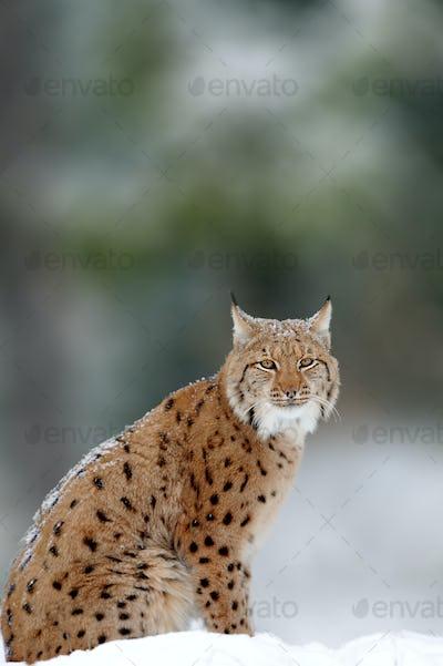 Lynx, Eurasian wild cat walking on forest in background