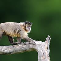 Capuchin, monkey sitting on the tree branch in the dark tropic f