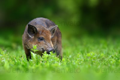 Big Wild boar. Bear in the summer forest.