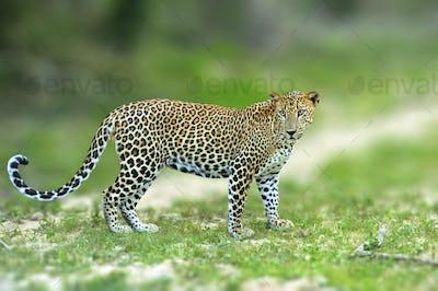 Walking Sri Lankan leopard, Big spotted wild cat lying in the na