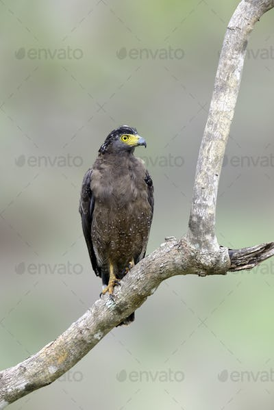 Sri lankan eagle, perched on trunk forest environment, looking f