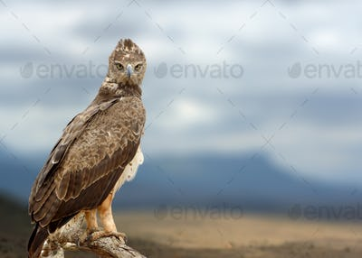 Tawny eagle (Aquila rapax) sitting on a branch tree, Africa, Ken