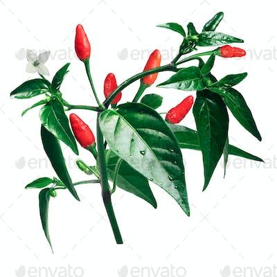 Pequin piquin chile pepper plant, paths