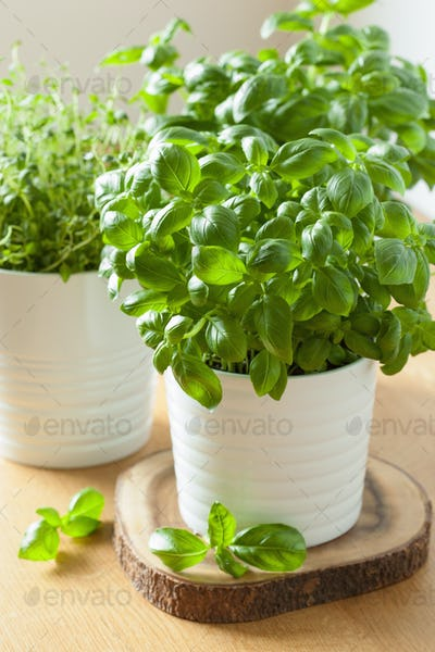 fresh basil thyme herbs in pots