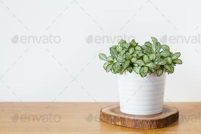 houseplant fittonia albivenis in white pot