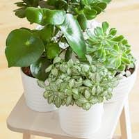 houseplants fittonia albivenis, peperomia, crassula ovata, echev