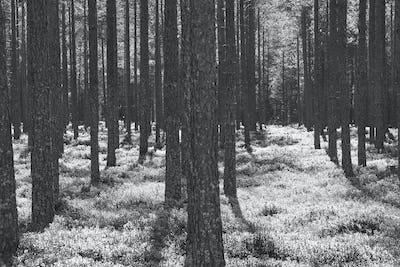 Pine wood forest sunset backlit. Nature background. Black white. Horizontal