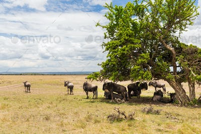 wildebeests grazing in savannah at africa