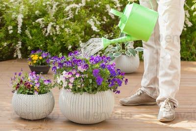 man watering viola flowers in garden