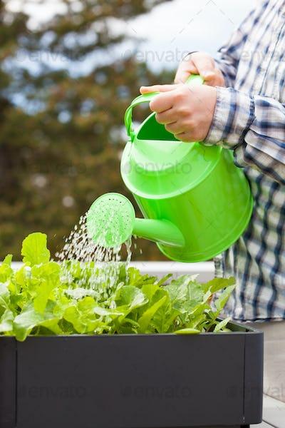 man watering vegetable garden in container on balcony