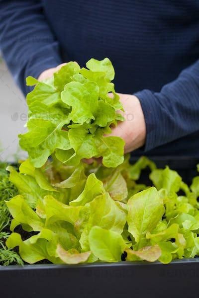 man gardener picking salad from vegetable container garden on ba