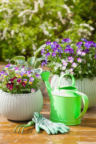beautiful pansy summer flowers in garden and watering can gloves