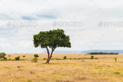 acacia tree in savannah at africa