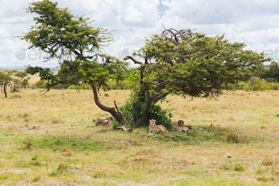 cheetahs lying under tree in savannah at africa