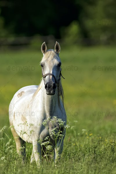 White horse in a clearing