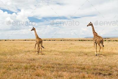 giraffes in savannah at africa