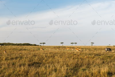 impala or antelopes grazing in savannah at africa