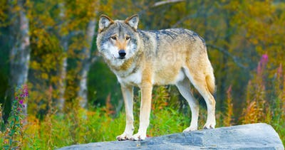 Large male grey wolf standing on a rock in the forest