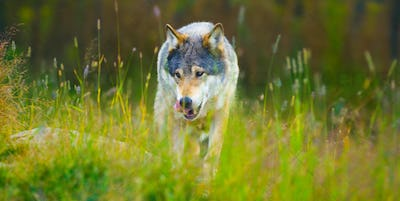 Wild male wolf walking in the grass in the autumn colored forest