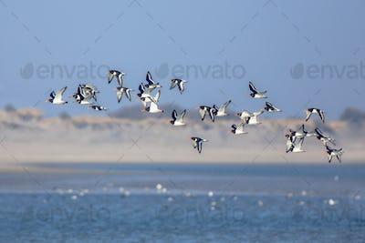 Flock of Pied Ostercatcher