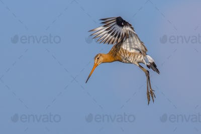 Black-tailed Godwit wader bird preparing for landing