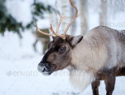 Reindeer in a winter landscape