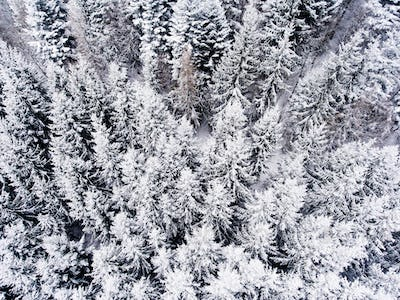 Aerial view of coniferous forest in winter.