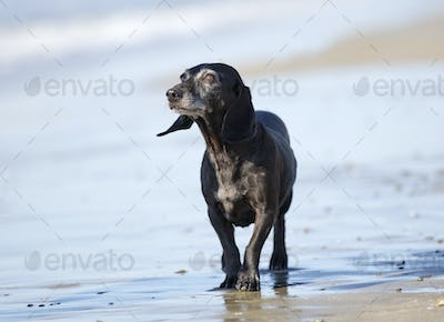 old dachshund on the beach