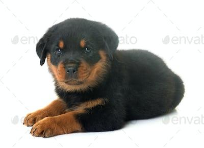puppy rottweiler in studio