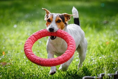 Jack Russell Terrier running witn toy